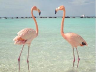 Didim Fener Koyunda Flamingolardan Güzel Görüntüler