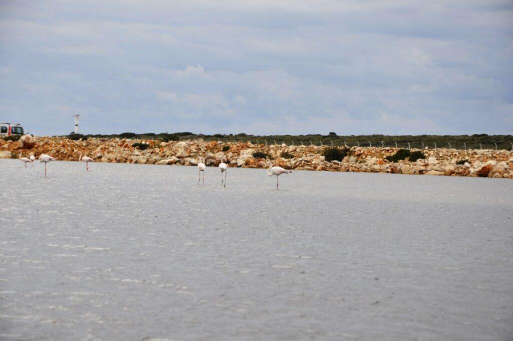 Didim Fener Koyun'da Flamingolar